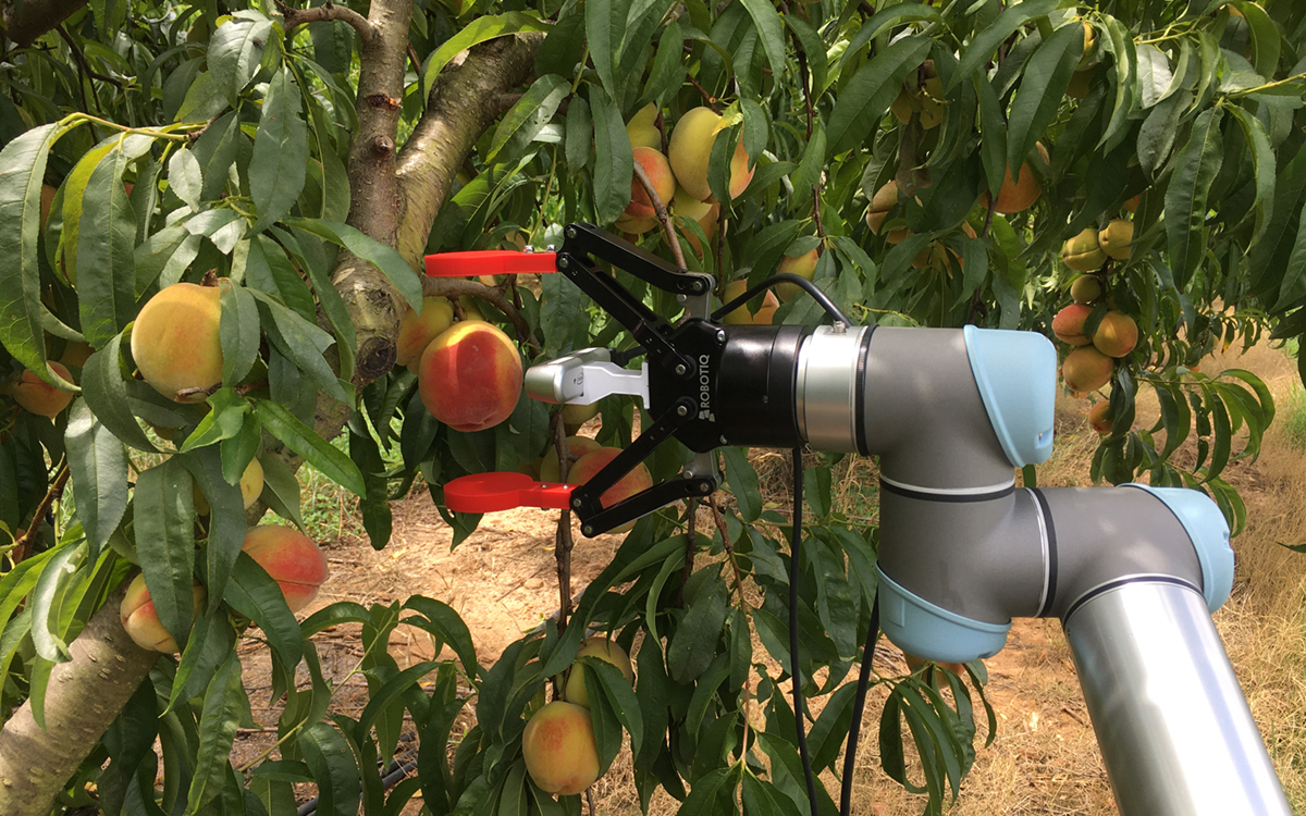 Self-navigating robot pruning and thinning peach trees.